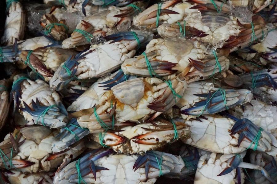 Krabben mit blauen Zangen